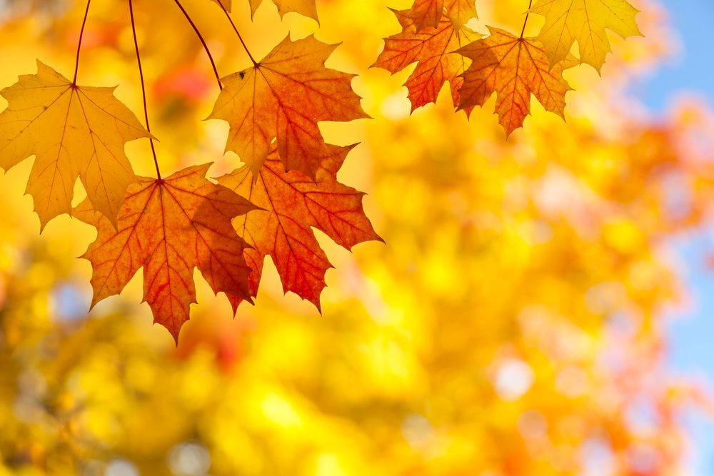 Adirondack Fall Wallpaper Sugar Maple Trees Showing Mysterious Decline In Growth