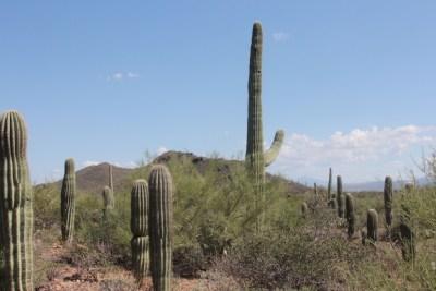 Les Saguaros : des formes parfois étranges, voire évocatrices !