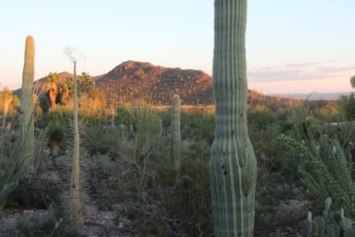 Coucher de soleil sur les Saguaros, l'heure où les autochtones arrivent.