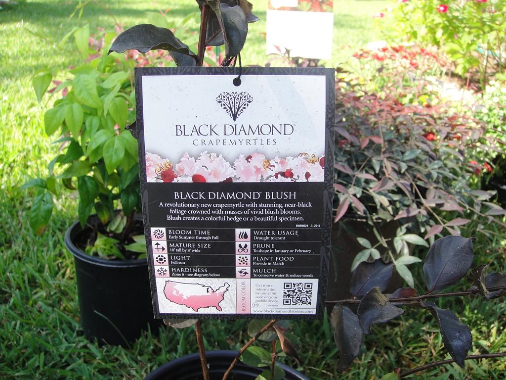 Fullsize Of Black Diamond Crape Myrtle