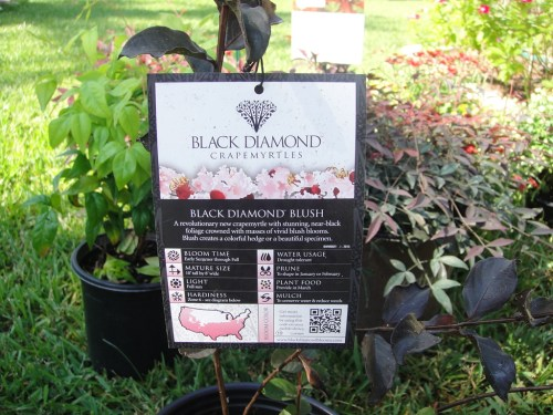 Medium Of Black Diamond Crape Myrtle