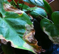 Антуриум: коричневые пятна на листьях