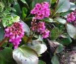 Бадан (бергения, сибирский чай, Bergenia). Садовый цветок и лечебное растение