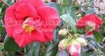 Цветы камелия японская. Уход