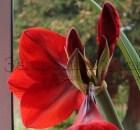 Гиппеаструм (амариллис) 'Королевский красный' ('Royal red')