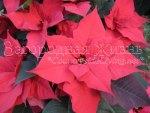 Рождественский цветок — пуансетия (пуансеттия)