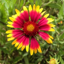 Firewheel (aka Indian Blanket)