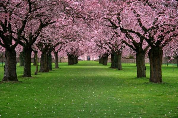 La más preciosas fotos de flores de cerezo en Japón Coyotitos