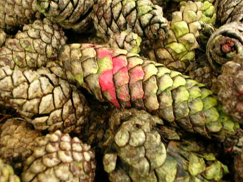 scented pine cones