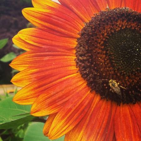 sunflower detail photo