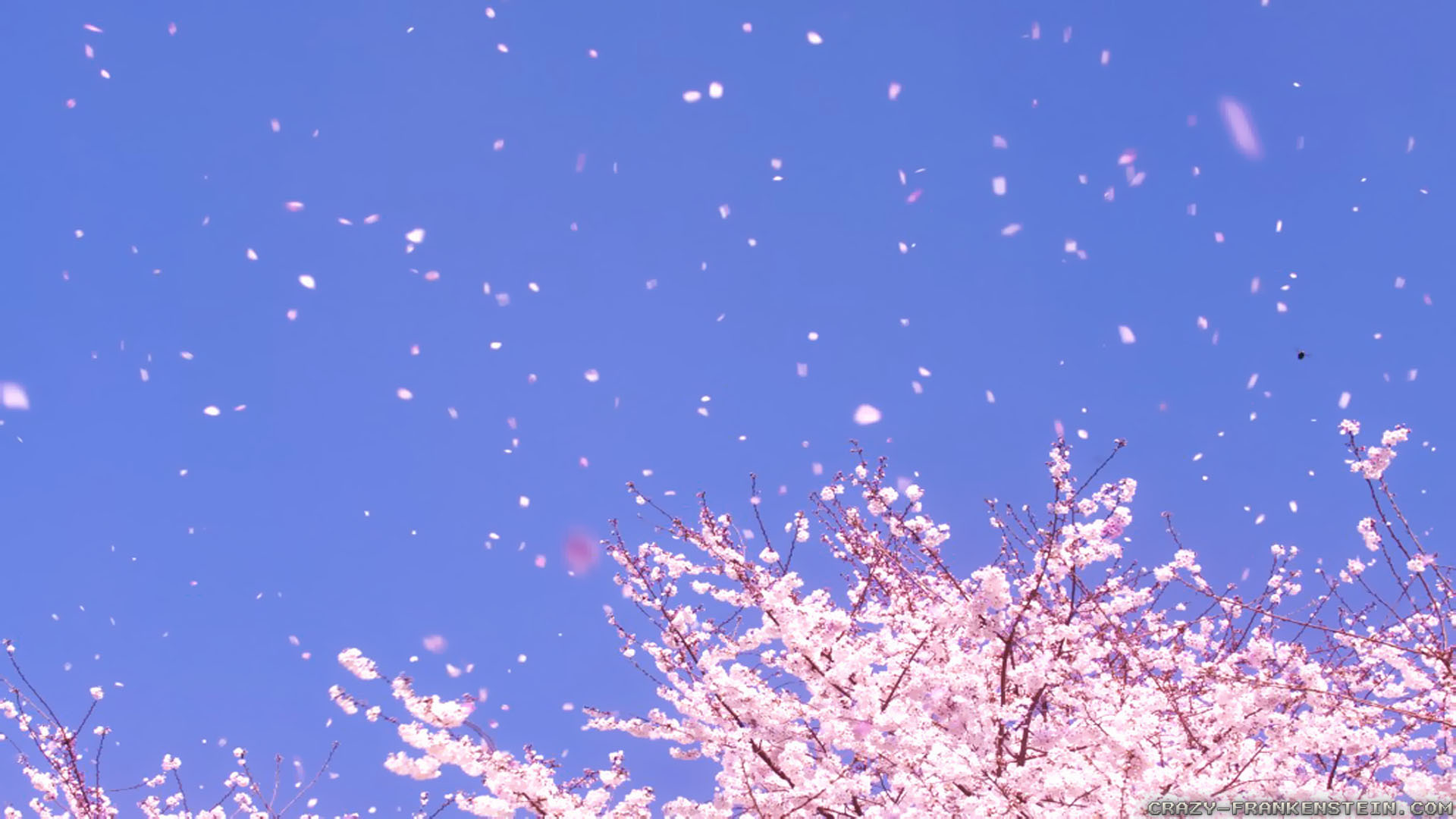 Falling Cherry Blossoms Wallpaper Summer Wind Wallpapers Crazy Frankenstein