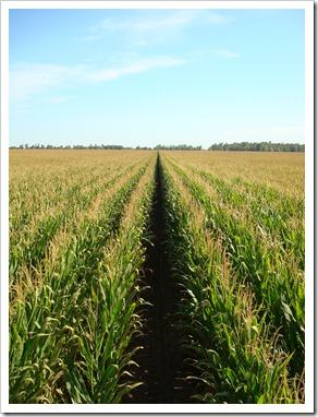 California Corn Field