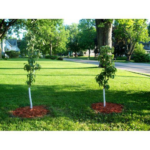 Medium Crop Of Columnar Apple Trees