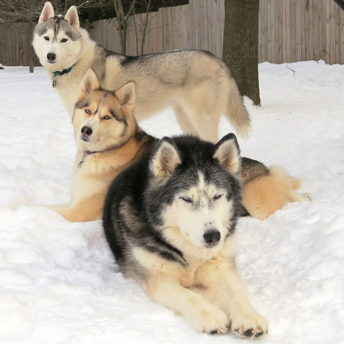 Husky Store Create Photo Calendars Store Gone To The Snow Dogs