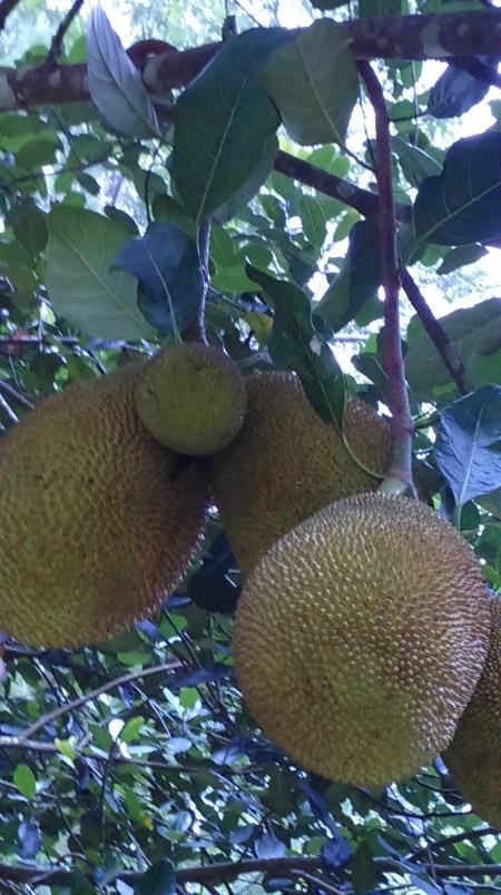 Contoh Famili Moraceae