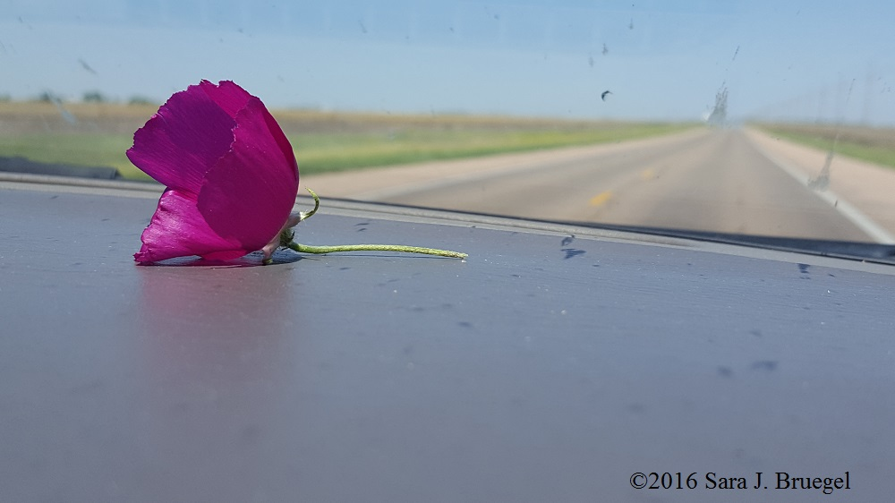 Purple poppy mallow on the dash