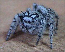 Cute Jumping Spider Wallpaper Jumping Spider Creationwiki The Encyclopedia Of
