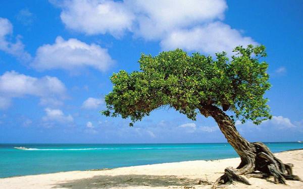 The Divi Divi Tree