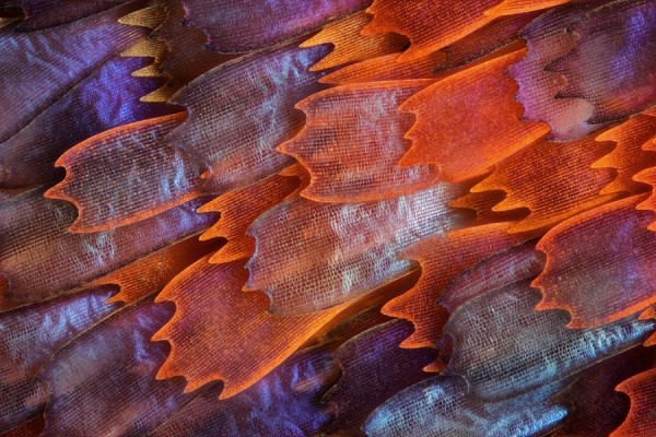 charles-krebs-shot-the-wings-of-a-butterfly-named-prola-beauty-to-capture-these-microscopic-scales