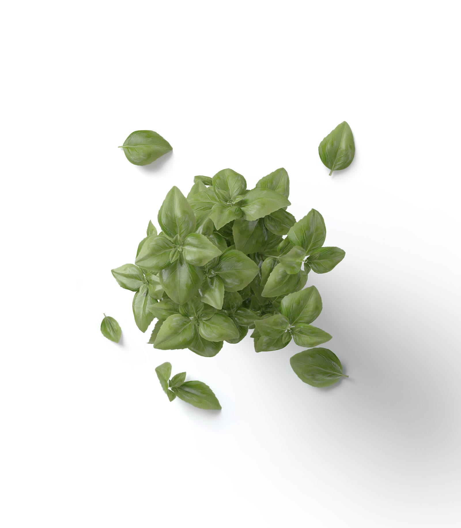 Potted Basil Mockup Top View Psd Creatoom