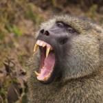 Baboon teeth