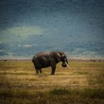 Solitary Elephant