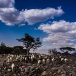 Masai herders
