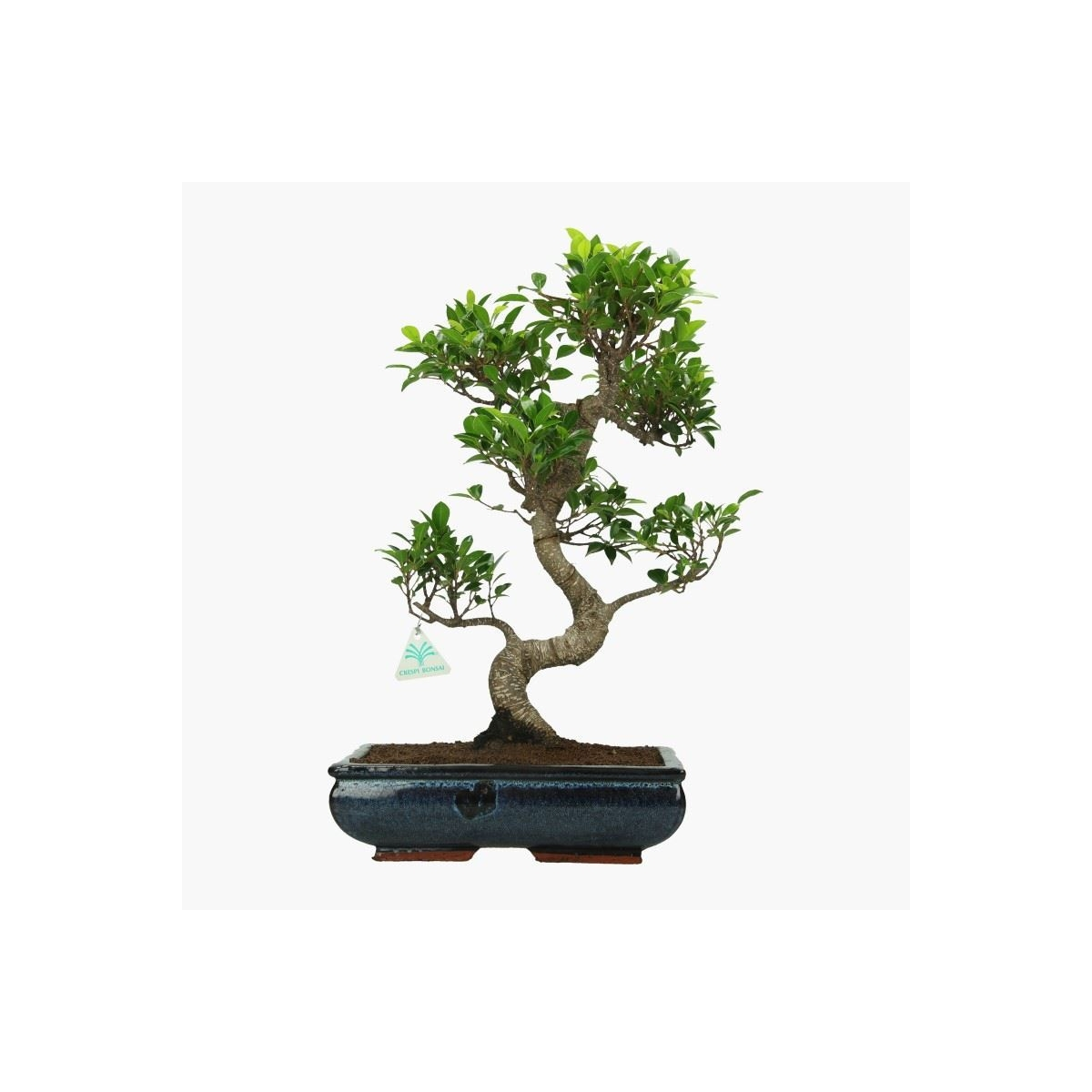 Bonsai D Interieur Especes Ficus Retusa 51 Cm