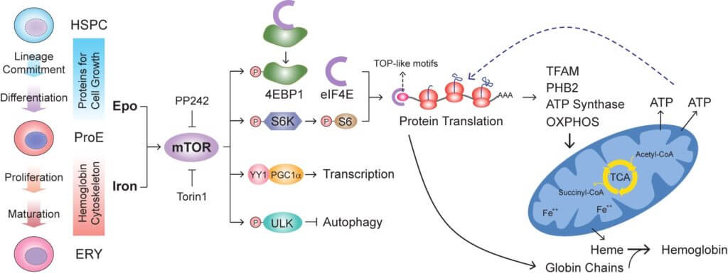 Pathway that Regulates Activity of Mitochondria Red Blood Cells