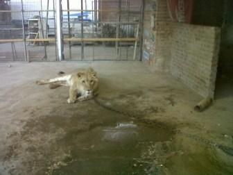 El león era manso como un gato según el cuidador del predio.