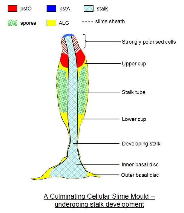 Slime Mold Diagram Wiring Schematic Diagram