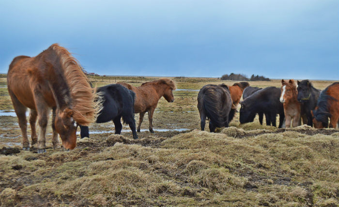herd of icelandic horses in iceland