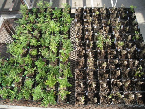 Glyphosate-Resistant Common Ragweed Confirmed In Nebraska