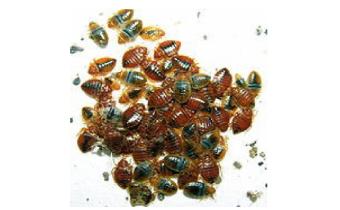 Bed Bugs Croydon