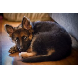 Comfy German Language Germany She St German Shepherd Puppy I Might Be Is It Friday Crystal Davis Towns bark post Cute In German
