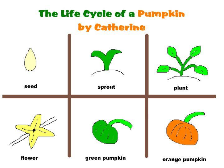 Pumpkin Lifecycle - Lessons - Tes Teach