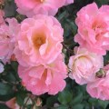 Pink Roses