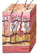 musculos celulitis