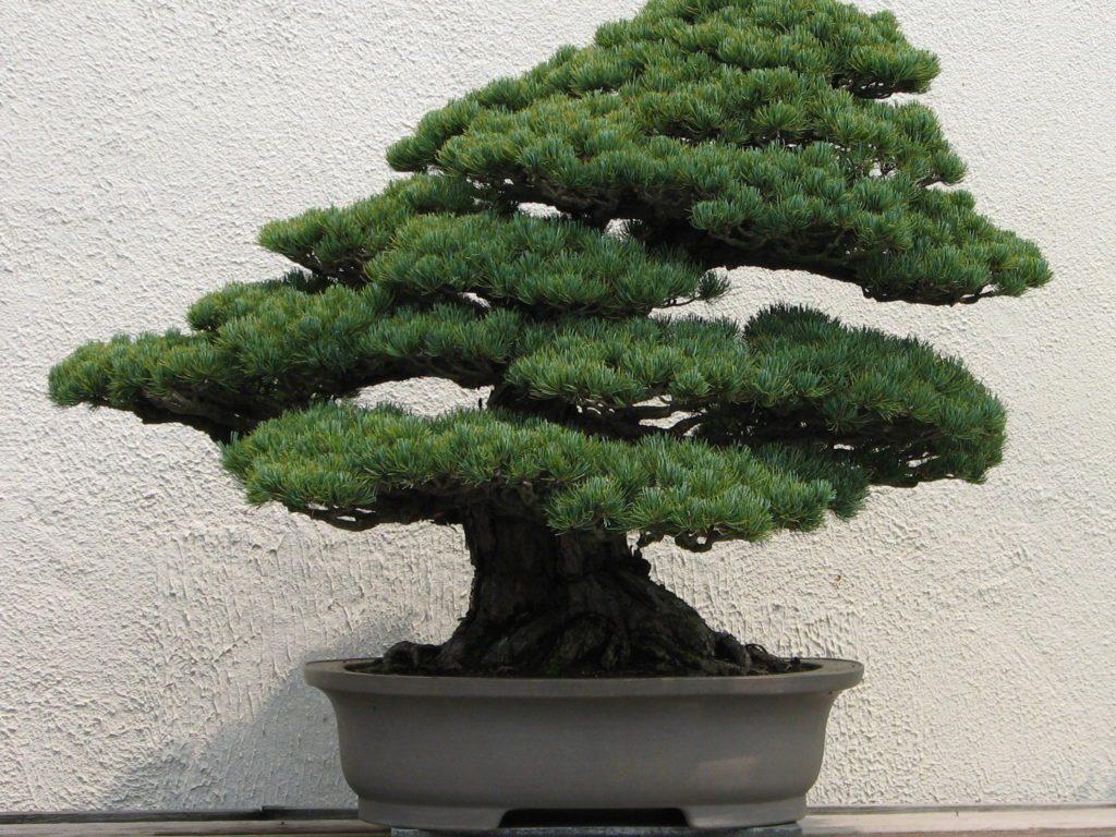 plantas ideais para bonsai cultivando