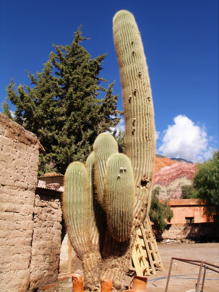 Spectacular cardon cactus with the Hill of Seven Colors in the background