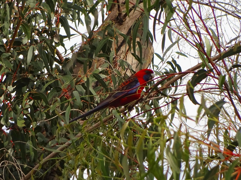 Crimson Rosella playing in the trees at the MacKenzie Falls, Grampians National Park