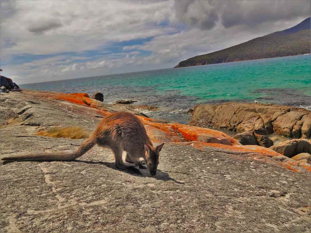 Wallaby sitting on the rocks, Bay of Fires, Tasmania