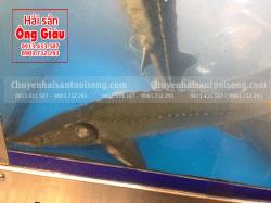 Giá mua bán cá tầm Việt Nam bao nhiêu tiền 1kg ở Sài Gòn