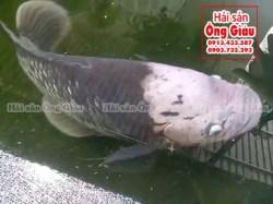 Giá mua bán cá Tai Tượng thịt tại TPHCM bao nhiêu tiền 1 kg