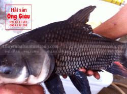 Giá bán Cá Hô tươi sống bao nhiêu tiền 1kg tại TpHCM-Sài Gòn