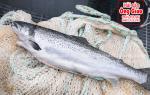 Bán cá Hồi NaUy nguyên con – mua ở đâu tại TpHCM – giá bao nhiêu