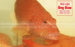Cá bống Mú đỏ tươi sống giá bao nhiêu tiền 1 kg ở TpHCM