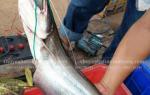 Cá leo tươi sống – Giá bao nhiêu tiền 1 kg – mua ở đâu tại TpHCM