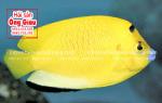 Cá hoàng yến – giá bán bao nhiêu tiền tại TpHCM hiện nay