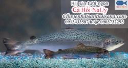 Cá hồi NaUy nguyên con – Cá hồi NaUy phi lê